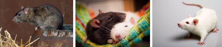 мишки плъхове съновник и поличби