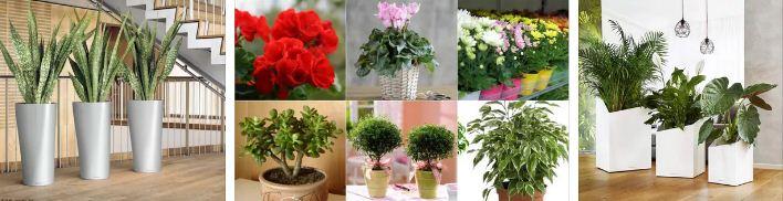 геопатогенни зони стайни цветя