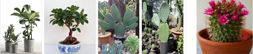 кактус и фикус геопатогенни зони
