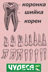 зъби кой зъб на кой орган в човешкото тяло отговаря
