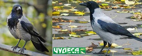 02 гарван, врана или гарга?