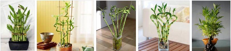 бамбук на щастието