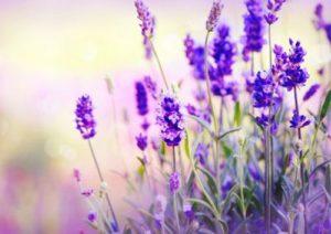 Една от полезните билки при страхова невроза е лавандулата.