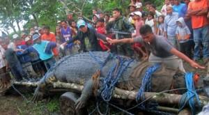 Хванаха най-гигантския крокодил на Земята! (СНИМКИ + ВИДЕО)