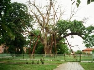 гранитски дъб най-старото дърво в европа
