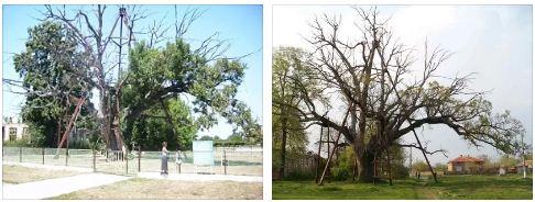най-старото дърво в европа