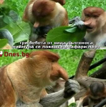 Родиха се бебета от застрашен вид маймуни