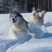 Щастливи кучета в снега