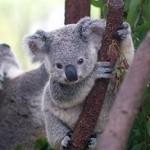 бебета коали