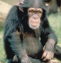 маймуната е проходила за да краде по-лесно