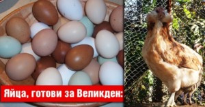 Невероятно! Кокошки снасят за Великден шоколадови яйца
