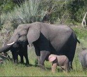 розово слонче