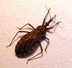 Това е лошото насекомо, което пие кръв и пренася опасната зараза Чагас