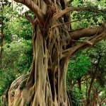 Дървото на Будда е на 2 500 години