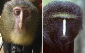 Тези симпатични животинки нападат банановите плантации из Африка