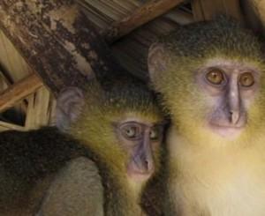 Непознатият вид примати живеят в Централна Африка