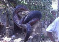 Вижте змията-чудовище! Това ВИДЕО ще Ви накара да сънувате кошмари!