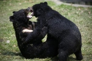 Черните мечки са уникални, даже могат да броят