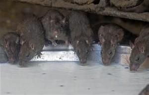 Огромни плъхове-мутанти бродят из града и разнасят зарази