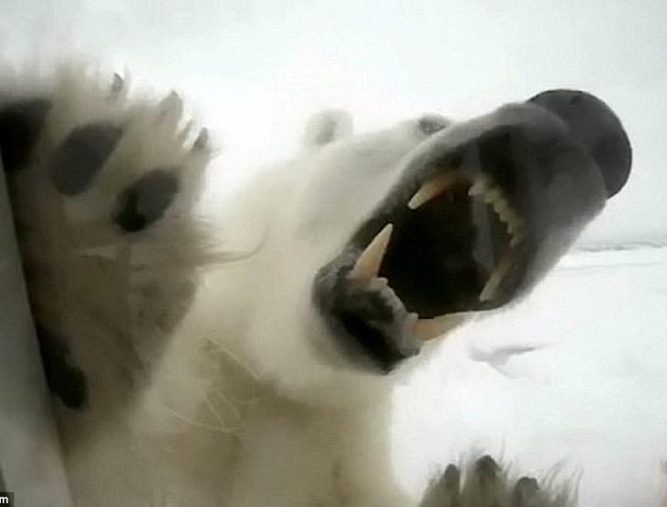 Вледеняващ УЖАС! Очи в очи с БЯЛА мечка! (ПОТРЕСАВАЩИ СНИМКИ)