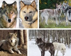 вълк и куче