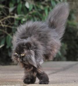 Персийският котарак  Кафри вече тича на два крака (сн. dailymail)