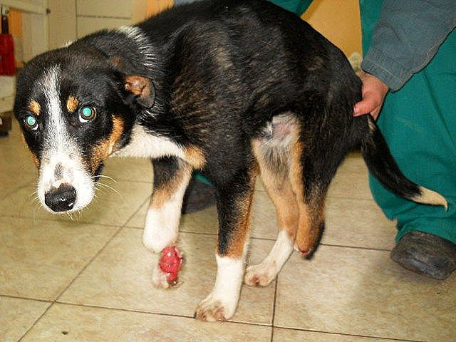 Ненормалници режат крака на беззащитно кутре с лозарски ножици! (ФОТО)