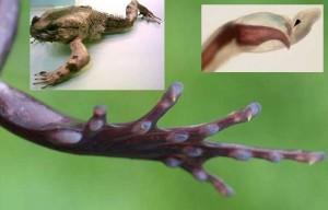 Тайното оръжие на странната жаба