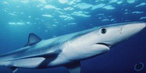 Синя акула