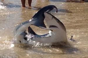 Двуметровата акула излезе почти на брега