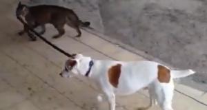 Коте води куче за каишка