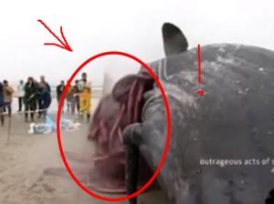 ето какво излиза от тялото на умрял кит