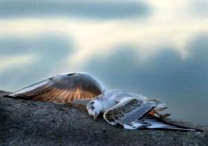 Птиците-самоубийци на Джатинга