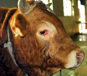 От очите на животното потичат сълзи