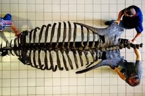 Скелетът на Nasutoceratops titusi