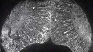 Японски учени успяха да заснемат за първи път видео, показващо как се формират мислите в мозъка на риба