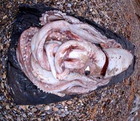 Гигантската сепия е най-голямото безгръбначно на Земята