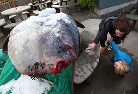 Рибарят се натъква на гигантска слънчева риба