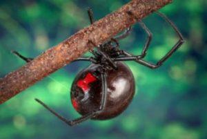 Отровен паяк черната вдовица