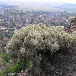 Уникално растение край Айтос може да изчезне