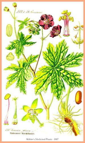Artemisia Annua или сладък пелин