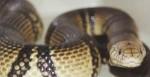 Вижте някой от по-малко известните отровни змии, които е по-добре да не срещате