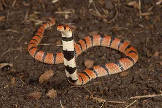 отровни змии