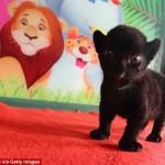 Раждането на черно тигърче се смята за особено рядко явление