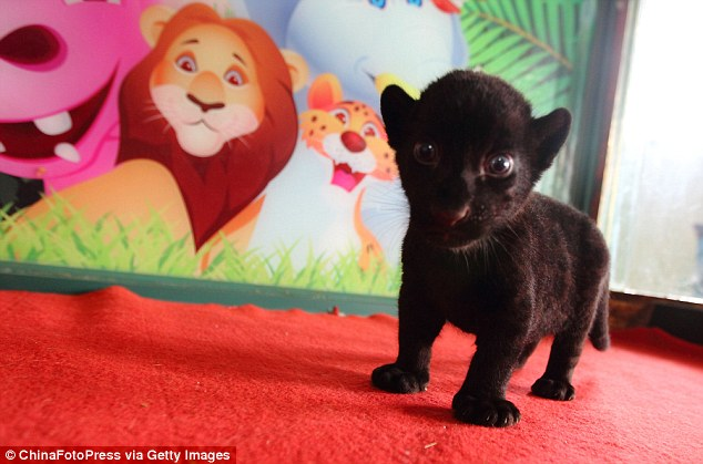 Рядко явление в Китай: роди се черно тигърче (ВИДЕО)