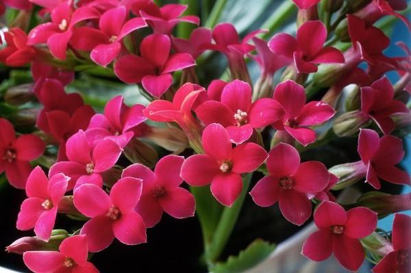 Каланхое – стайно растение и безценен лечител