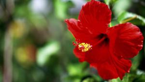 От цветовете на китайската роза се прави полезен чай