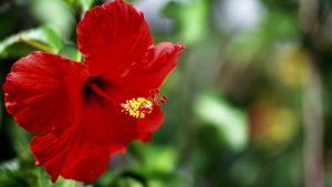 китайска роза цена, чай,