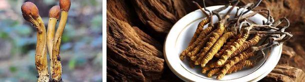 кордицепс китайска гъба против рак