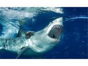 Бялата акула влиза в рекордите на Гинес, като най-голямата акула